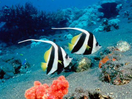 Long-Fin Bannerfish, Indonesia