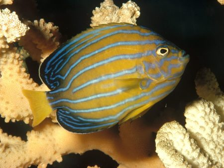 Seven-Lined Angelfish