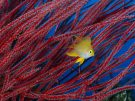 Golden Damselfish in Front of Red Sea Fan, Papua New Guinea